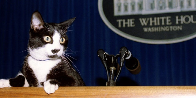 White House first cat Socks hangs his paws over the edge of the podium in the media Briefing Room, March 1994.