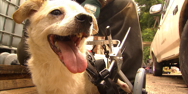 Cesar was outfitted with a new wheelchair thanks to donations from the Lifeline Animal Project Pets for Life Program.