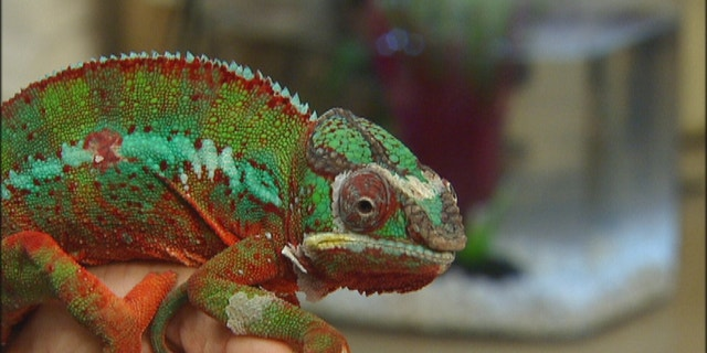 Reptiles like this chameleon are slow moving and interesting to look at which Dr. Hess says is great for kids with autism