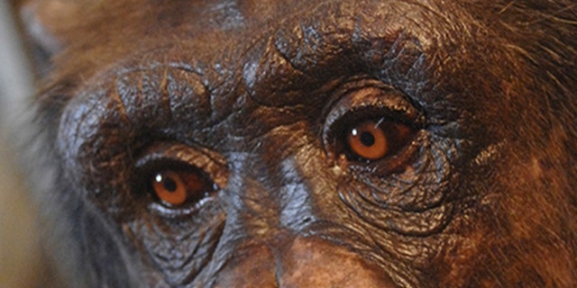 Panzee, a chimpanzee at the Language Research Center at Georgia State.