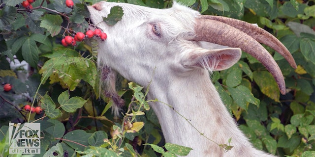 A popular legend says that Kaldi, a goat herder in Ethiopia, learned of the coffee bean's energizing properties after his goats started eating beans off the trees.