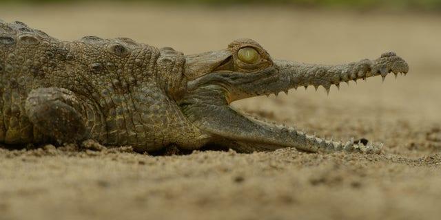 Twenty Orinoco crocodiles (Crocodylus intermedius) were reintroduced into their natural environment this month in Colombia.