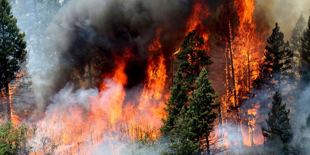 In this Monday, June 11, 2018, photo, flames consume trees during a burnout operation that was performed south of County Road 202 near Durango, Colo.