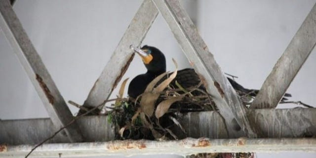 The double-breasted cormorants could save taxpayers millions if they would just fly over to their nearby, man-made replacement nests. (CALTRANS)