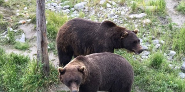 The culprit was likely similar to one of these bears seen the day before.