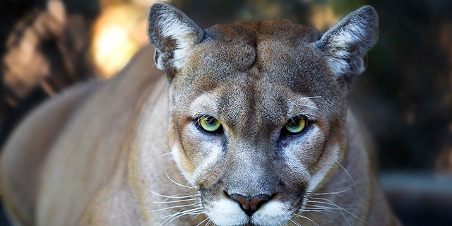 The deadly attack involving a cougar was the first in Washington state in nearly a century.