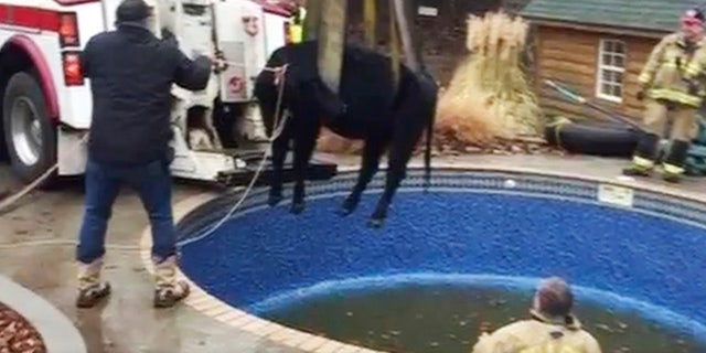 In this Sunday, Jan. 15, 2017, provided by the Oklahoma City Fire Department, firefighters hoist a cow out of a swimming pool outside a home in Oklahoma City.