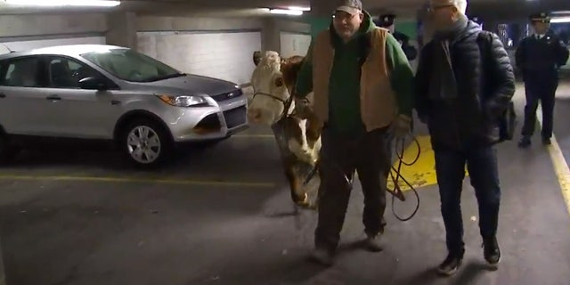 A cow from a living nativity scene at a church caused a commotion across some of the busiest parts of Philadelphia.
