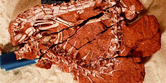 The skeletal remains of the ancient crocodile Pakasuchus kapilimai were embedded in red sandstone. The researchers used a sandbox and foam padding (in blue) to position the separate fragments of the fossil prior to photographing the specimen.