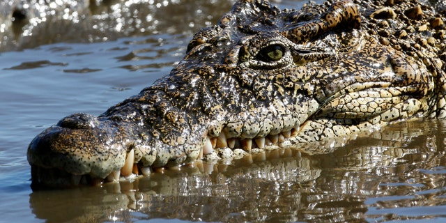 "File photo - A crocodile swims at a breeding center at ""La Boca"" in the Zapata Swamp Biosphere Reserve Park south of the Matanzas province in central Cuba Sept. 17, 2009. (REUTERS/Desmond Boylan)"