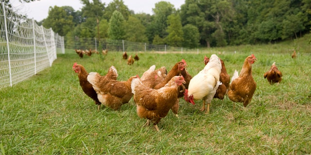 A group of pasture raised chickens on a farm in Illinois