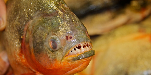 Piranhas are among the most deadly creatures in the water, with razor-sharp teeth capable of slicing flesh easily. (Photo: Andrew O'Reilly / Fox News)
