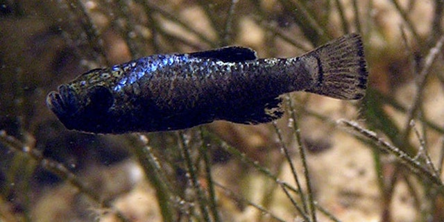 This pupfish from San Salvador island is the only species known to eat scales from other fish.