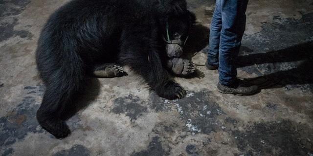 One of the dancing bears rescued in Nepal (World Animal Protection)