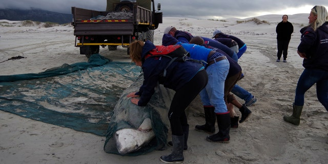 A great white shark being removed from a beach in South Africa. (Marine Dynamics)