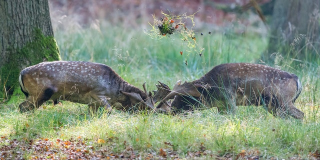 The photographer thought this would be a brief skirmish between deer.