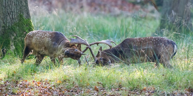 Instead, the battle between two evenly matched stags went on for more than 20 minutes before the photographer ventured closer.