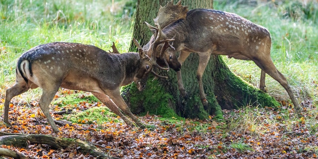 Deer butting heads in Sauerland forest, in Germany. Wildlife photographer Ingo Gerlach, 65, was able to capture the moment as their antlers intertwined.