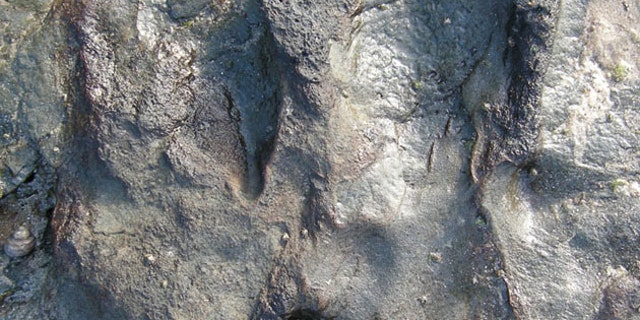 The theropod dinosaur footprint before it was vandalized (credit: Parks Victoria)