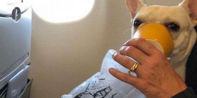 Darcy was treated for hypoxia – a lack of oxygen in the body – by her owner who held the oxygen mask over the dog's face.