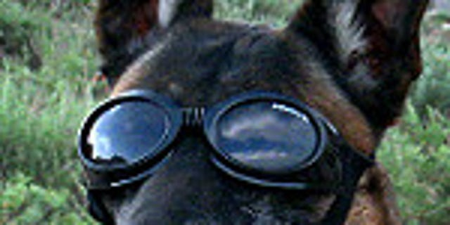 A military working dog wears Doggles to protect his eyes as a Chinook helicopter takes off in Parwan province, Afghanistan, May 11, 2010. (U.S. Army photo by Sgt. Jason Brace)
