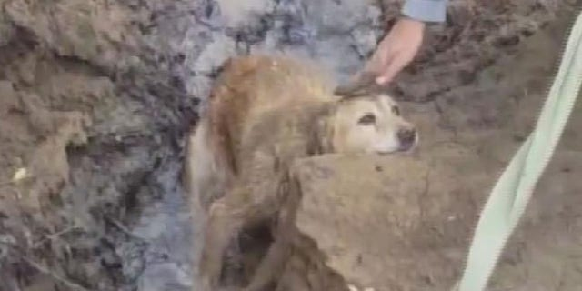 Ginger was stuck on a riverbank in Kentucky for several days before she was rescued.