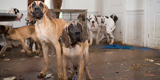 Great Danes rescued by the Human Society of the United States in Wolfeboro, New Hampshire.