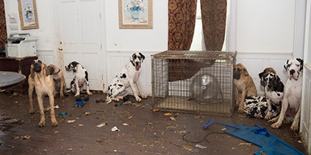 Some of the Great Danes rescued by the Human Society of the United States.