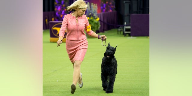 Ty, a giant schnauzer, was the runner up at the 142nd Westminster Kennel Club Dog Show.