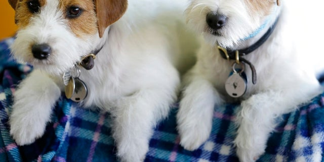 Russell terriers named Dom, right, and Demi relax in the benching area during the 142nd Westminster Kennel Club Dog Show
