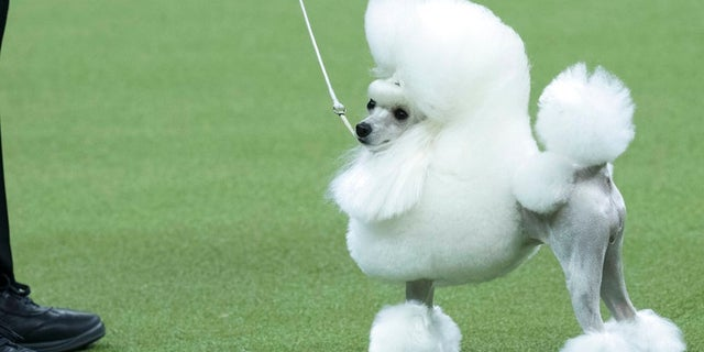 Cami, a toy poodle, competes in the Toy group during the 142nd Westminster Kennel Club Dog Show, Monday, Feb. 12, 2018, at Madison Square Garden in New York