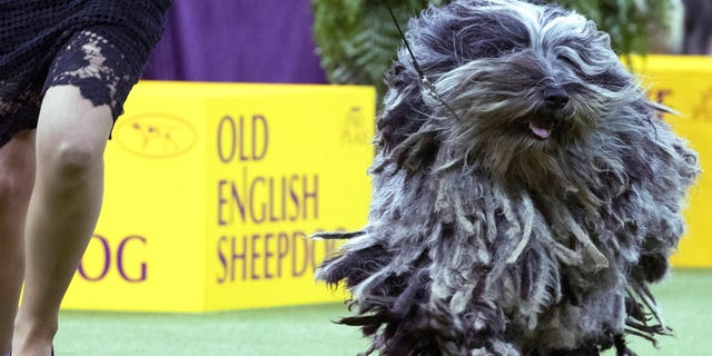 Faggia, a Bergamasco, competes in the herding group during the 142nd Westminster Kennel Club Dog Show, Monday, Feb. 12, 2018, at Madison Square Garden in New York.