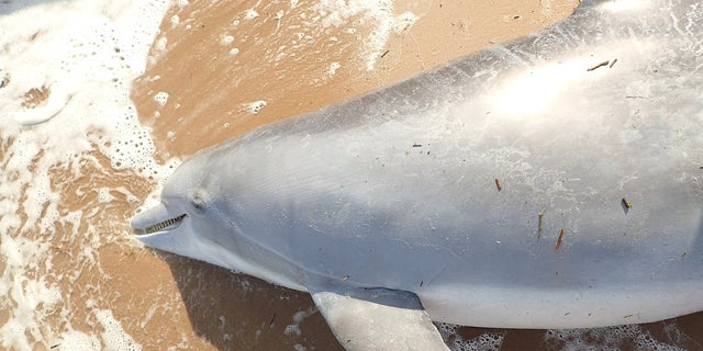 """The dolphin was shot with a """"small caliber bullet,"""" according to the NOAA."""
