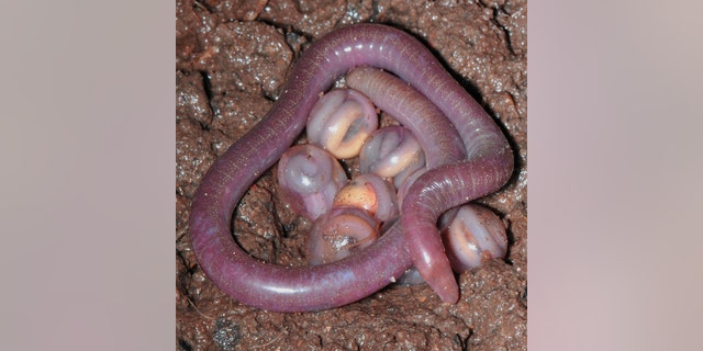 A doting caecilian mother coils around her eggs, which will hatch out mini-adults within two to three months.