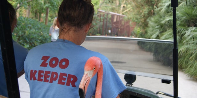 Zoo employees spend hours transferring more than 40 flamingos from outside exhibits to the on site animal hospital.