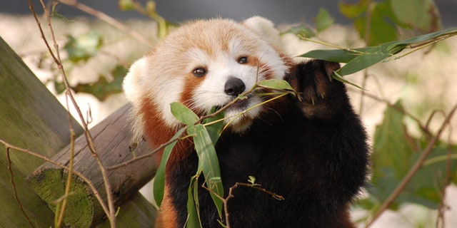 Sunny the red panda.