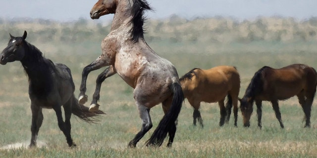 July 18: A wild horse jumps among others near Salt Lake City. Harsh drought conditions in parts of the American West are pushing wild horses to the brink and forcing extreme measures to protect them.