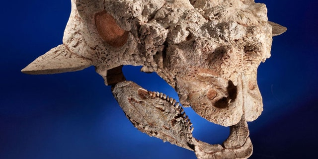 This Ankylosaurid skull is among the fossils auctioned on Sunday that paleontologists suspect were taken illegally from Mongolia.