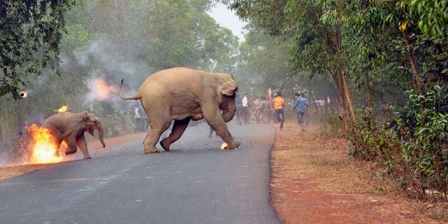 The graphic moment two elephants were attacked in east India.