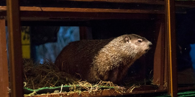 """Groundhog Staten Island Chuck is seen during a """"Groundhog Day"""" event at the Staten Island Zoo in New York February 2, 2015."""