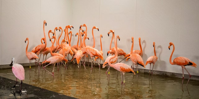 Flamingos take refuge in a shelter Saturday ahead of Hurricane Irma's arrival at the zoo in Miami.