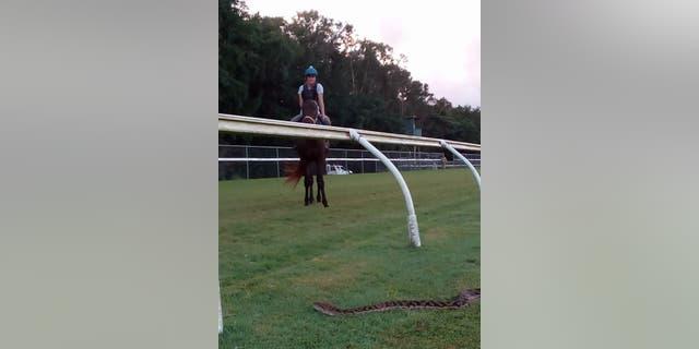 Jockey mistakes 15-foot python for 'big crack' on horse