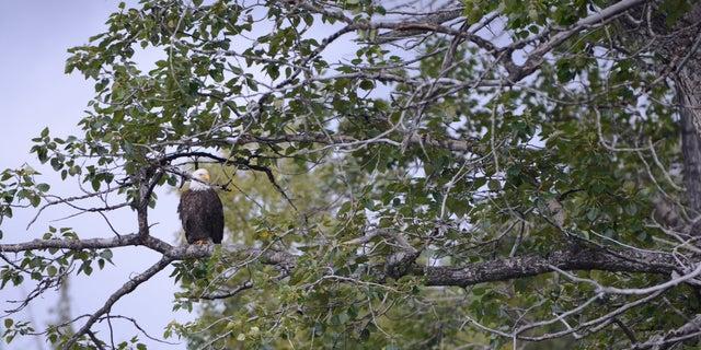 A bald eagle sits along the Kenai River in Alaska.