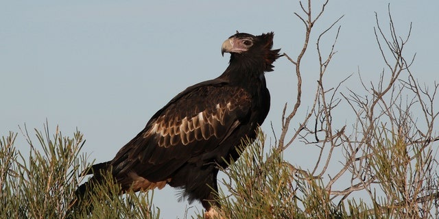 File photo of a wedge-tailed eagle on the Peron Peninsula in Western Australia