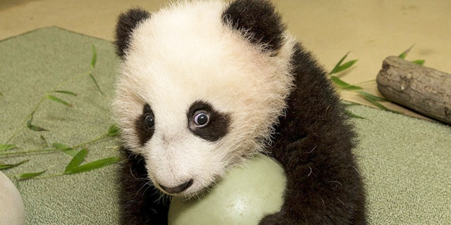 Top Places To Hang Out With Pandas Around The World Fox News