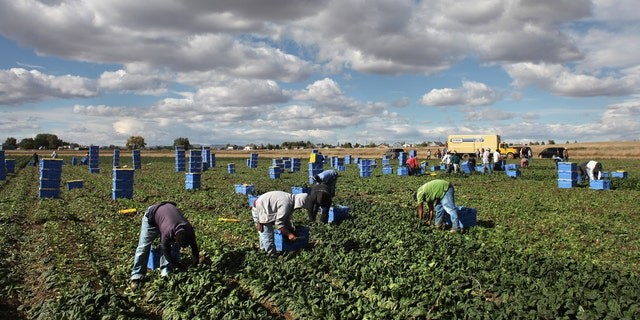 "WELLINGTON, CO - OCTOBER 11:  Mexican migrant workers pick organic spinach during the fall harvest at Grant Family Farms on October 11, 2011 in Wellington, Colorado. Although demand for the farm's organic produce is high, Andy Grant said that his migrant labor force, mostly from Mexico, is sharply down this year and that he'll be unable to harvest up to a third of his fall crops, leaving vegetables in the fields to rot. He said that stricter U.S. immigration policies nationwide have created a ""climate of fear"" in the immigrant community and many workers have either gone back to Mexico or have been deported. Although Grant requires proof of legal immigration status from his employees, undocumented migrant workers can easily obtain falsified permits in order to work throughout the U.S. Many farmers nationwide say they have found it nearly impossible to hire American citizens for seasonal labor-intensive farm work.  (Photo by John Moore/Getty Images)"