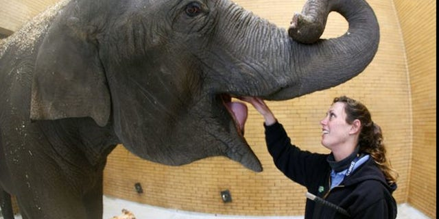 Kelly Schroer, elephant manager, feeds an elephant at the Buffalo Zoo.