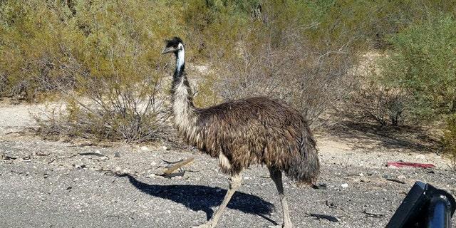 Arizona troopers found this emu on I-10 Friday. (Arizona Department of Public Safety)