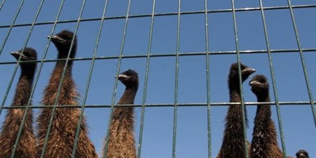 July 20: A group of curious young emu gathers behind a fence at the Montana Emu Ranch Company west of Kalispell, Mont. (AP)