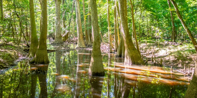 cypress forest and swamp of Congaree National Park in South Carolina